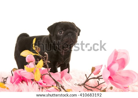 Cute standing pug puppy seen from the side on a pink fur with pink flowers on a white background - stock photo