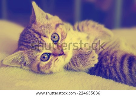 Cute striped scottish kitten on  background with retro vintage instagram filter - stock photo