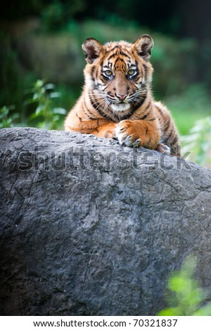 Cute sumatran tiger cub looking at the camera - stock photo