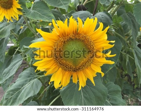 Cute sunflower and leaf. Pretty sunflower. Sunflower on tree. Single flower. Summer flower tree. Beauty yellow flower. Yellow sunflower. Yellower flower on tree. Sunflower and seed. Yellow flower - stock photo