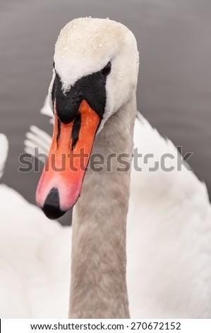 cute swan looking at camera (portrait) - stock photo