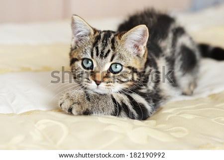 Cute  tabby kitten laying down on  bed - stock photo
