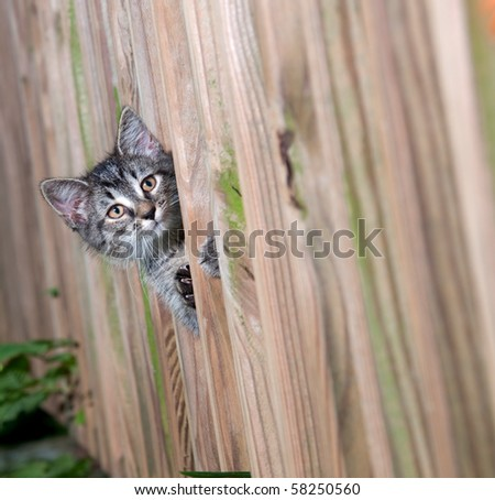 Cute tabby kitten peeks through a wooden fence - stock photo