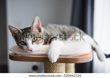 Cute Tabby Kitten Relaxing on Top of Cat Tree - stock photo