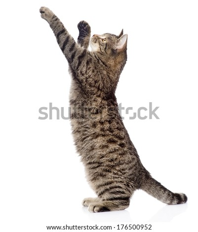 Cute tabby kitten standing on hind legs and leaping. isolated on white background - stock photo