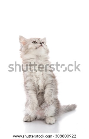 Cute tabby kitten standing with hind legs and licking lips on white background isolated