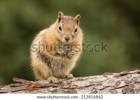 Cute tame and friendly chipmunk posing for camera with a quizzical expression as if to say who me? - stock photo