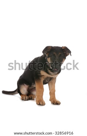 cute tan and black pure breed puppy - stock photo