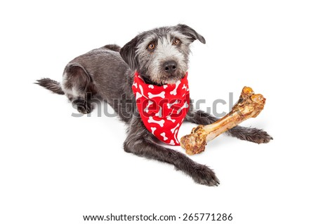 Cute terrier crossbreed dog wearing a red bone print bandana with a big bone in front of her - stock photo