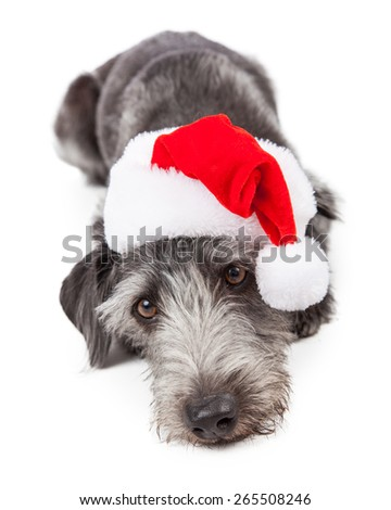 Cute terrier crossbreed dog wearing a red Christmas Santa hat while laying down - stock photo