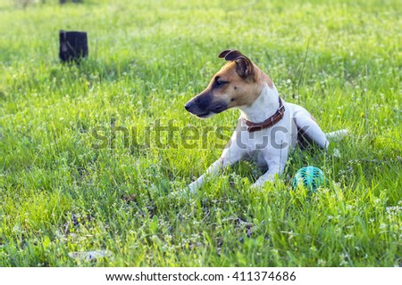Cute terrier dog on a green glade with a ball - stock photo