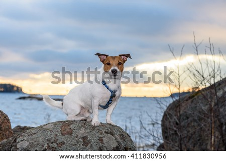 Cute terrier dog with funny ears walking at sunset - stock photo
