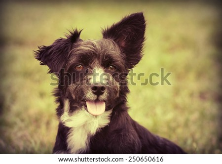 Cute terrier puppy male looking at the camera - in vintage postcard style - stock photo
