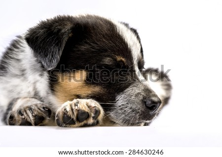 Cute Texas Blue Heeler (a cross breed of Australian Cattle Dog and Australian Sheppard) puppy sleeping isolated on white. - stock photo