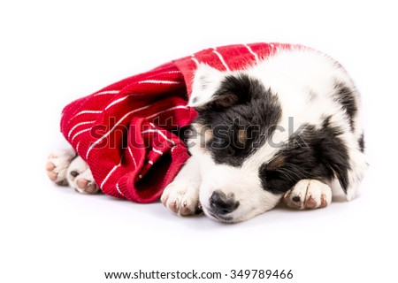 Cute Texas Blue Heeler (a cross breed of Australian Cattle Dog and Australian Shepperd) puppy sleeping with a red blanket. - stock photo