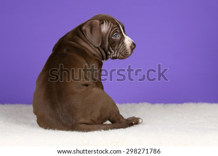 Cute thick brown puppy