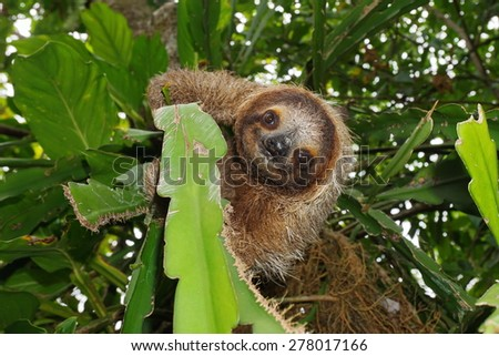 Cute three-toed sloth looking at camera in a jungle tree, wild animal, Costa Rica, Central America - stock photo