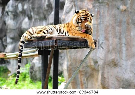 cute tiger - stock photo