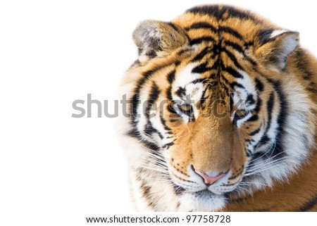 Cute tiger cub isolated on white stock photo image royalty free cute tiger cub isolated on white background altavistaventures Gallery