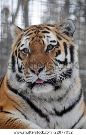 Cute tiger showing the tongue