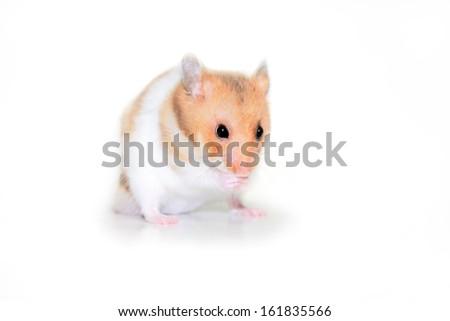 Cute tiny golden hamster - stock photo