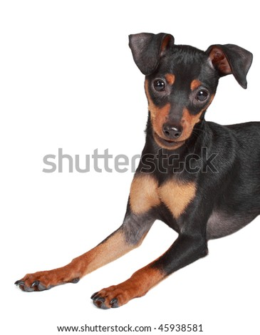 cute tiny pinscher dog, white background
