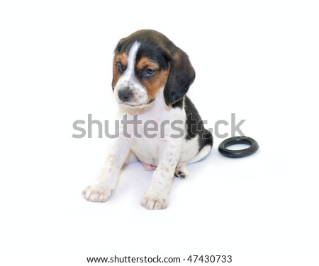 Cute tricolor beagle puppy sitting isolated on white background