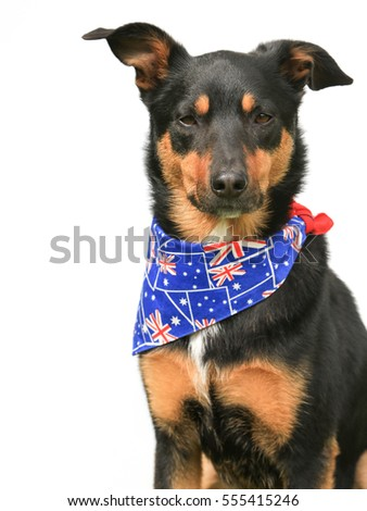 Cute tricolour Kelpie (an Australian breed of sheep dog) wearing an Australian flag bandana with copy space, on a white background.