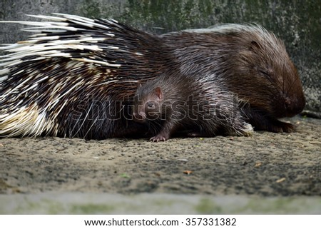Cute two baby porcupine baby