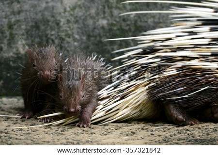 Cute two baby porcupine small animals