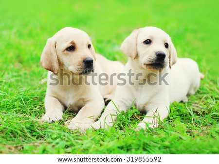 Cute two puppies dogs Labrador Retriever lying together on grass  - stock photo