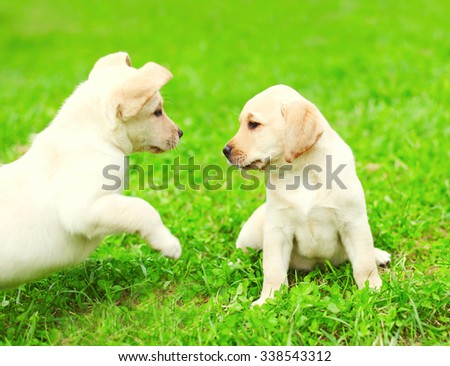 Cute two puppies dogs Labrador Retriever playing together on green grass - stock photo