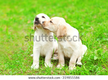 Cute two puppies dogs Labrador Retriever together on green grass - stock photo