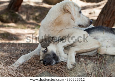 Cute two undomesticated dog lying on the ground