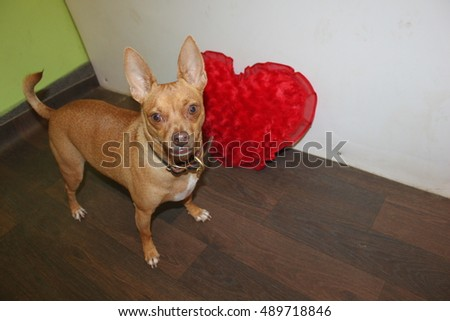 Cute valentine's day chihuahua
