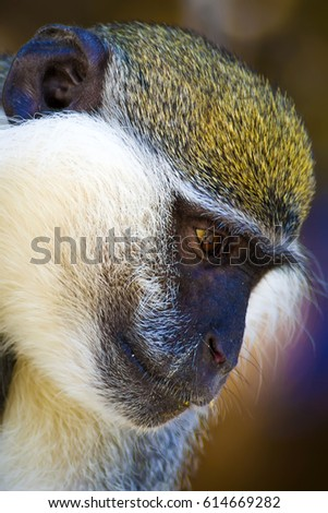 Cute vervet monkey. Blur background. Monkey portrait.