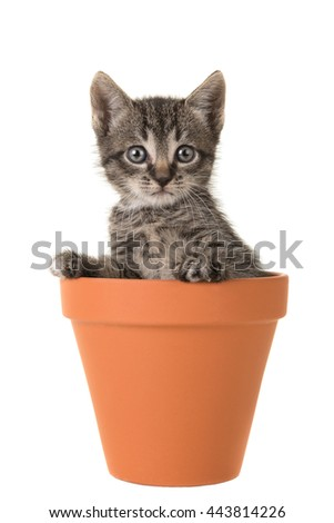 Cute 5 weeks old tabby baby cat in a brown terracotta flower pot isolated on a white background