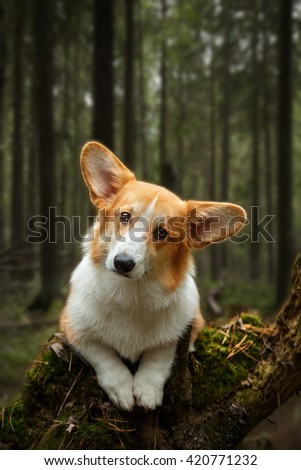 cute welsh corgi pembroke puppy red dog with big years posing in beautiful forest - stock photo