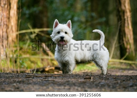 Cute West Highland Terrier dog standing still looking at camera. - stock photo