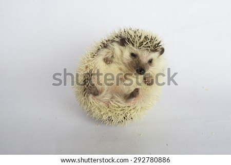 Cute white african hedgehog on his back - stock photo