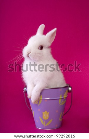 Cute white baby Easter Netherland Dwarf bunny rabbit on hot pink background in purple bucket with flowers - stock photo