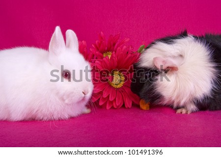 Cute Guinea Pig Pictures Guinea Pig With Pink Cute