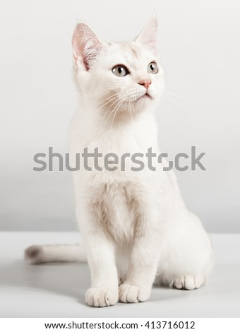 cute white breed short hair kitten sitting and looking up  - stock photo