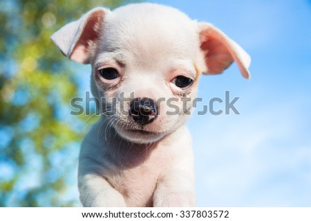 Cute white chihuahua puppy looking straight into the camera with a blue sky in the background - stock photo