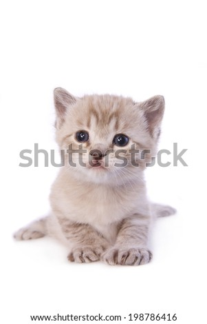 Cute white cream kitten lying down facing camera isolated on white background