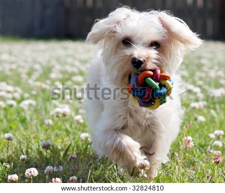 cute white dog running with toy in mouth - stock photo