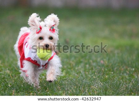 Cute white dog wearing cheerleader outfit with red valentine hearts fetches ball on green lawn - stock photo