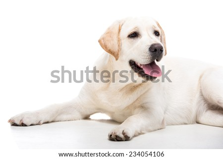 Cute white labrador retriever dog isolated on white background. - stock photo