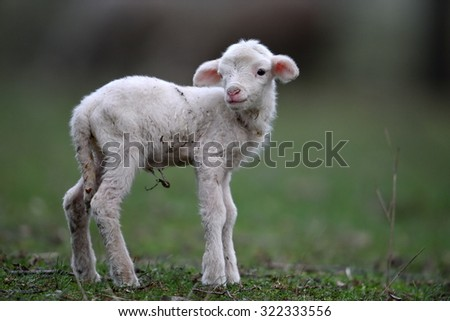 cute white lamb on field in spring