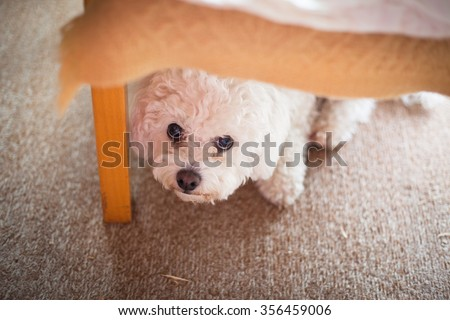 Cute white maltese dog hiding under sofa,  fearful and frightened - stock photo